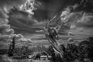 Bristlecone Pine Snag copy